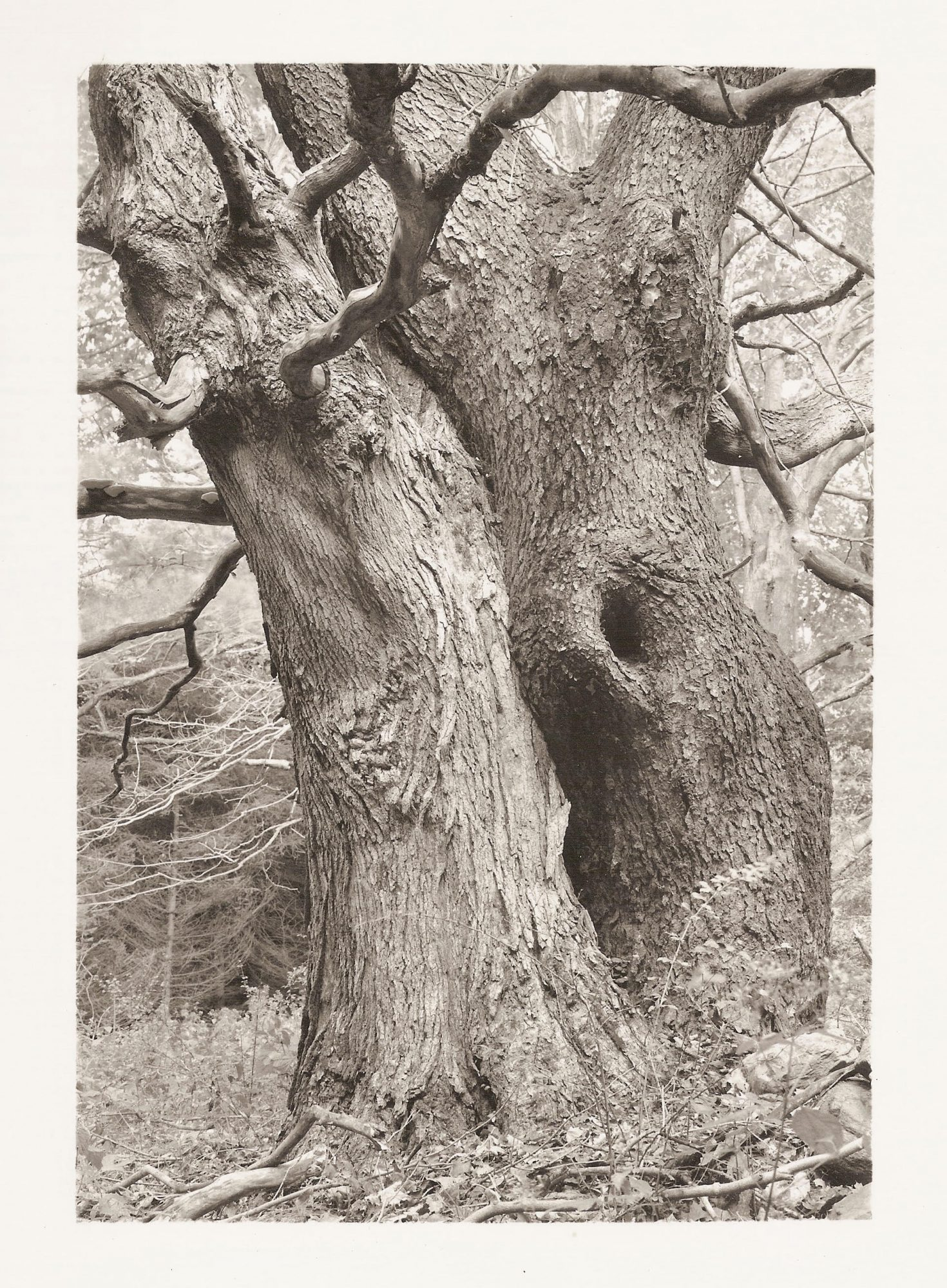 Portraits of American Trees: The Photography of Tom Zetterstrom